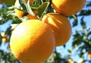 cules citrice, cules portocale, locuri de munca portocale